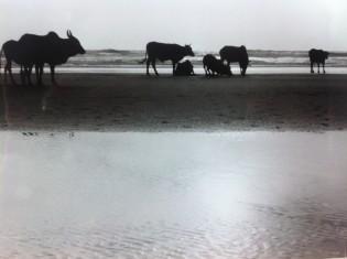 Cows on Vegator Beach in Goa, India