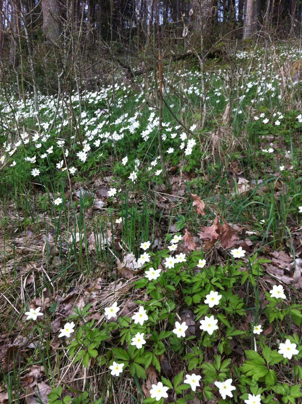 Wood Anemones carpeting woodland floors