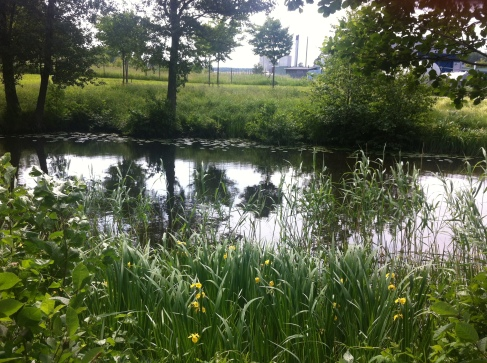 The banks of the canal in summer full of yellow iris plants.