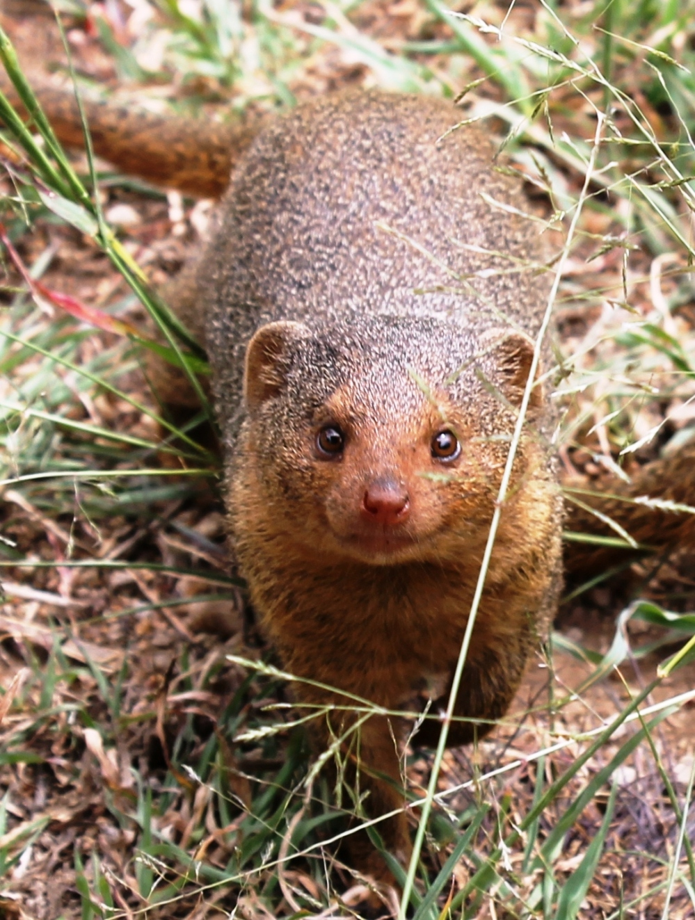 A close up meeting with one of my favourite animals ever - a mongoose