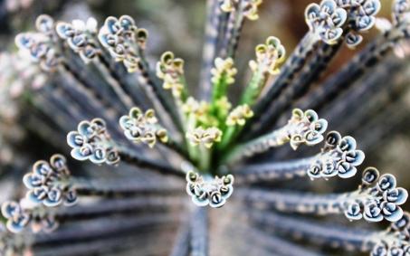 Symmetry in Nature, a species of Euphorbia in Bunda, Tanzania.