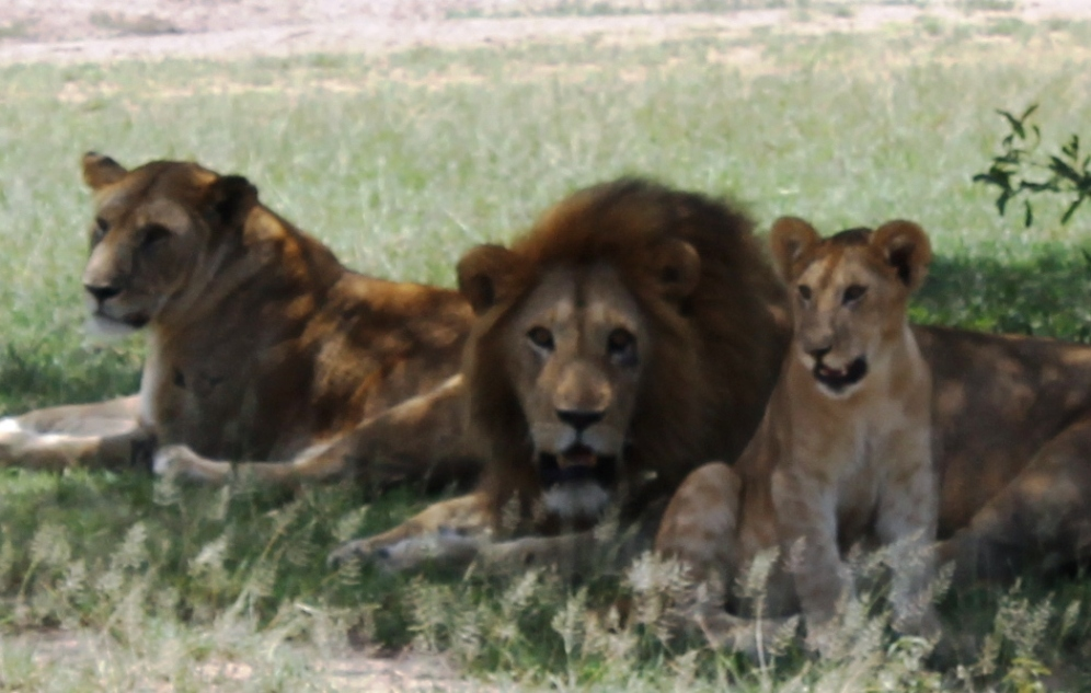 A pride of lions in the Serengeti National Park