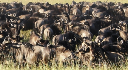 Migration of the Wildebeest in the Serengeti National Park