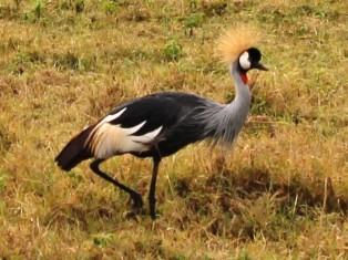 Crowned stork in the Serengeti National Park
