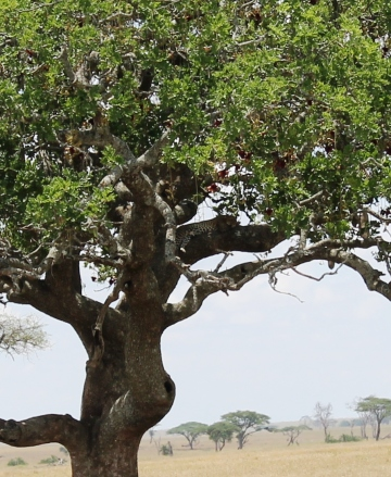 African leopard sleeping in a tree in the Serengeti National Park.