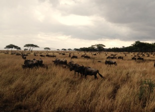 Wildebeest in the Serengeti National Park, Tanzania
