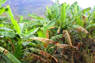 Banana groves in Morogoro - On the train from Mwanza to Dar Es Salaam, Tanzania.