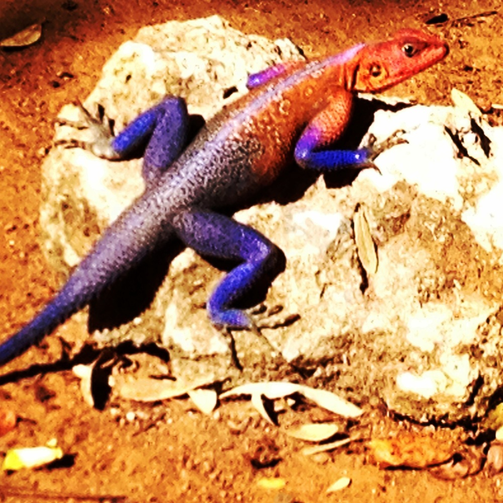 The Spiderman Agama or the Mwanza flat-headed rock Agama in the school grounds outside my classroom in Mwanza, Tanzania