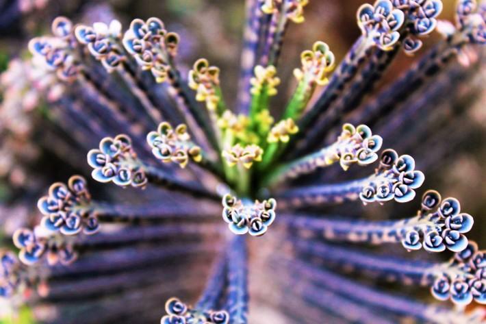 Euphorbia - Symmetry in Nature, a species of Euphorbia at Bunda Campsite near the Serengeti